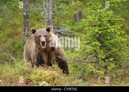 Eurasian Brown Bear (Ursus Arctus Arctus) in East Central Finland. - Stock Photo