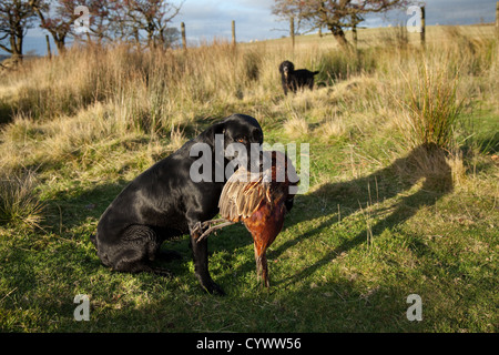 Labrador Gun Dog holding shot dead pheasant game bird after shoot in the Trough of Bowland, Lancashire, UK - Stock Photo