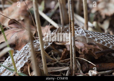 Grass Snake (Natrix natrix). En situ section of skin peeled off as snake moved and twisted its body between reed - Stock Photo