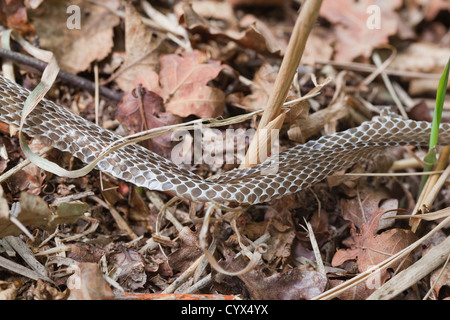 Grass Snake (Natrix natrix). En situ section of skin peeled off as snake moved and twisted its body between grass - Stock Photo