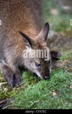 Bennett's (Red-necked) Wallaby (Macropus rufogriseus). Overland Track, Tasmania, Australia. - Stock Photo