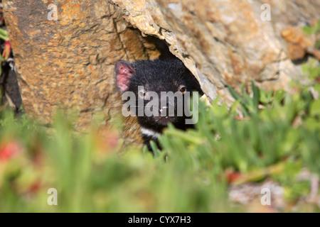 Young Tasmanian Devil in the wild. Tarkine coastline, North West Tasmania, Australia. - Stock Photo