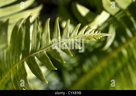 Detail of Fishbone Fern (Nephrolepis cordifolia). Tasmania, Australia. - Stock Photo