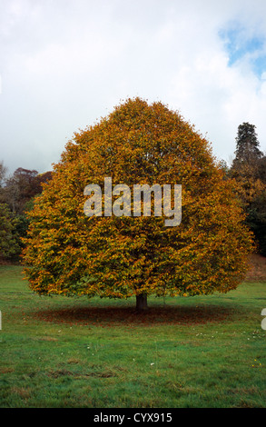 Small leaved Lime Tree in autumn foliage Tilia Platyphyllos Wales Gwent Monmouth Trefynwy South Deciduous Color - Stock Photo