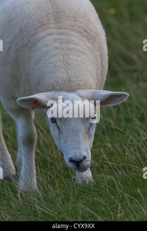 Texel Sheep (Ovis aries). Grazing. Here on Iona, Inner Hebrides. Introduced breed from The Netherlands to UK. - Stock Photo