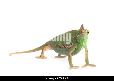 Veiled Chameleon (Chamaeleo calyptratus) on white background. - Stock Photo