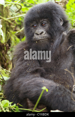 Rwanda, Volcanoes National Park (Parc National des Volcans) Juvenile Gorilla - Stock Photo