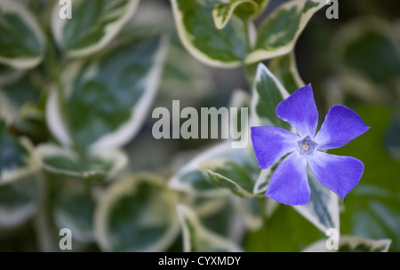 plants flowers vinca minor variegata variegated common periwinkle single purple - Common Purple Garden Flowers