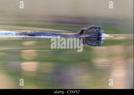 American Beaver (Castor canadensis) swims in a Autumn colors reflected pond, Grand Teton National Park, Wyoming, - Stock Photo