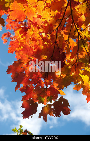 Standing under beautiful autumn leaves that are basking in the sun, in the background is the blue sky - Stock Photo