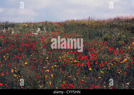 Afield of poppies and Perennial Sow-thistle above the village of Millington Yorkshire Wolds England - Stock Photo
