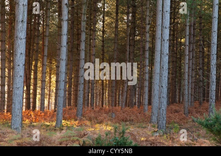 Conifer Woods The New Forest Hampshire England UK - Stock Photo