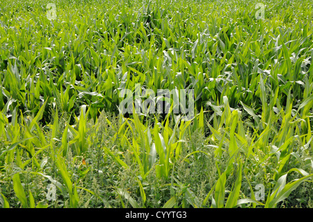 maize field in Poland - Stock Photo