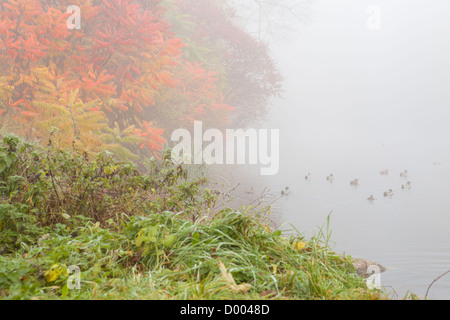 Autumn pond with ducks in a fog, nature - Stock Photo