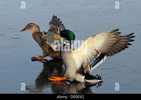 Mallard pair (Anas platyrhynchos) sliding on ice as they land on frozen lake in morning sunshine, Wiltshire, UK, - Stock Photo