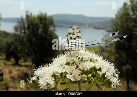 Thread-winged lacewing / Spoonwing lacewing (Nemoptera sinuata) on Cretan oregano (Origanum onites) flowers, Lesbos, Greece.