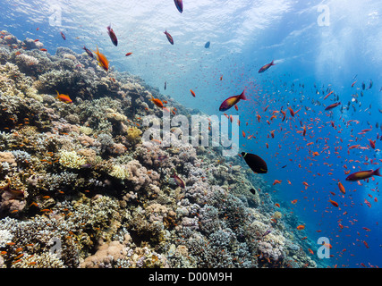 Tropical fish swim around hard and soft corals on a reef wall in the Red Sea - Stock Photo