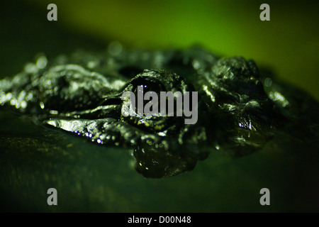 Closeup shot of hungry crocodile's eyes on hunting - Stock Photo