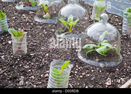 Rainbow chard plants protected from the weather by bell cloches and plastic bottles - Stock Photo