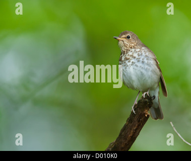Swainson's Thrush - Stock Photo