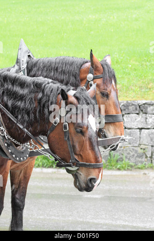 Bay horse in a harness - Stock Photo