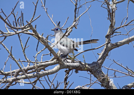 Crested coua perched in tree top in Madagascar - Stock Photo