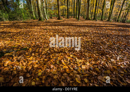 A carpet of autumn beech leaves. - Stock Photo