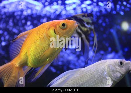 Freshwater fish aquarium fish tropical fish pictures of for Saltwater aquarium fish for sale