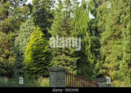 Trees, Chamaecyparis lawsoniana 'Stewartii' 'Lanei' 'Wisselii' 'Intertexta' - Stock Photo