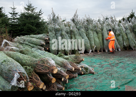 For Sale  Imported Netted Nordman Fir Trees at wholesalers  for Christmas Distribution, Lancashire, UK - Stock Photo