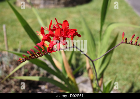 Red Orange flower Crocosmia in a garden in South Wales. Beautiful summer day. - Stock Photo