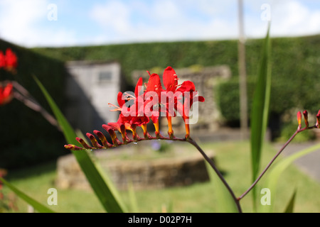 A small genus of flowering plants in the iris family, Iridaceae. Native to the grasslands of South Africa - Stock Photo