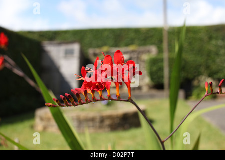 Red Orange flower Crocosmia in a garden in South Wales. Beautiful summer day - Stock Photo