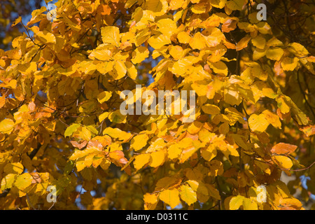 Yellow orange leaves of common beech tree autumn close up - Stock Photo