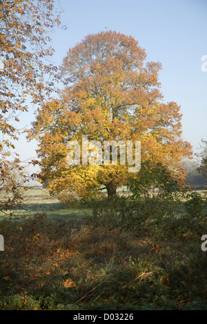 Small leaved lime tree autumn leaf colours standing in field - Stock Photo
