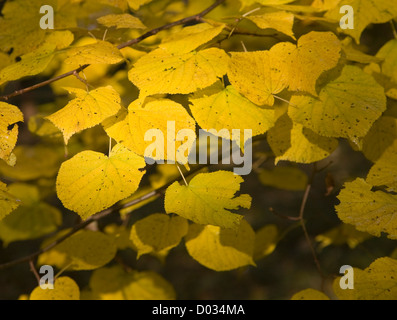 Yellow leaves of common lime tree autumn close-up - Stock Photo