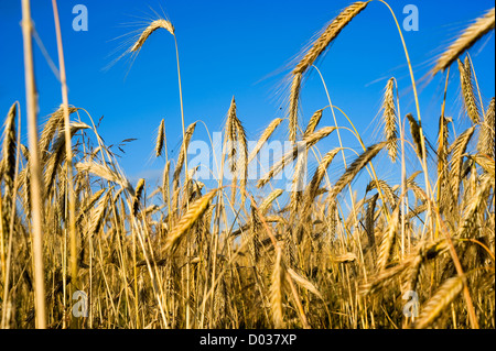 Wheat on a cornfield - Stock Photo