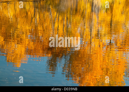 Scenic autumn water reflections of golden cottonwood trees in the boise river along the boise river greenbelt. Boise - Stock Photo