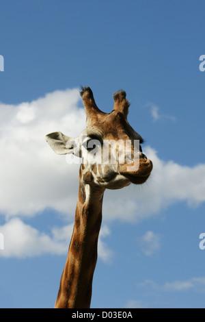 Rothschild giraffe head and neck profile against a blue sky - Stock Photo