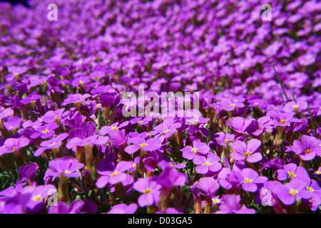 Close-up of some violett flowers sea of flowers - Stock Photo