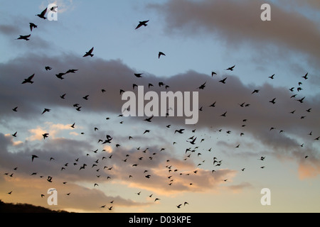 flock or murmuration of starlings, sturnus vulgaris over a British wetland reedbed in the evening sunset - Stock Photo
