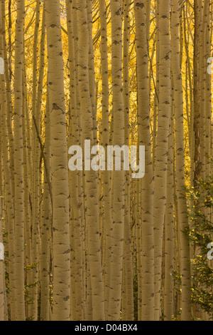 Quaking Aspen trunks, Populus tremuloides, with autumn colour, in the San Juan mountains, Colorado, USA - Stock Photo