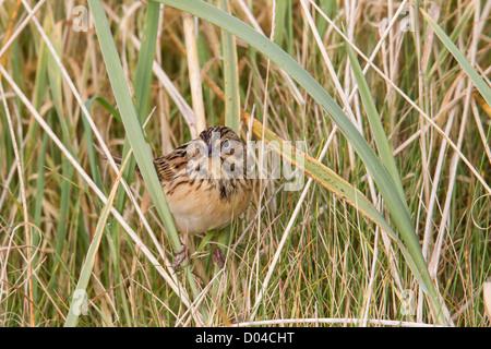 Chestnut-eared Bunting Emberiza fucata Shetland UK - Stock Photo