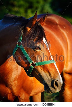Closeup portrait of chestnut horse with bridle - Stock Photo