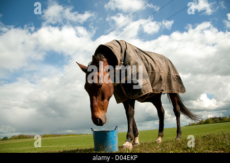 Landscape portrait of a horse eating its feed from a blue feed bucket. Image is set on a green pasture and blue - Stock Photo