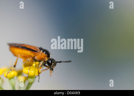 A Sawfly, Arge ochropus, perched on Fennel flowers in a South Yorkshire garden. - Stock Photo