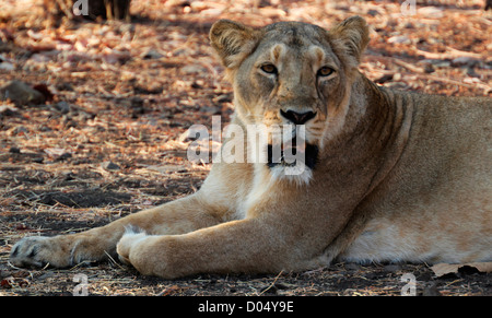 Portrait of an Asiatic Lion (Panthera leo persica)- endangered species found only in Gir National forest in Gujarat,india - Stock Photo