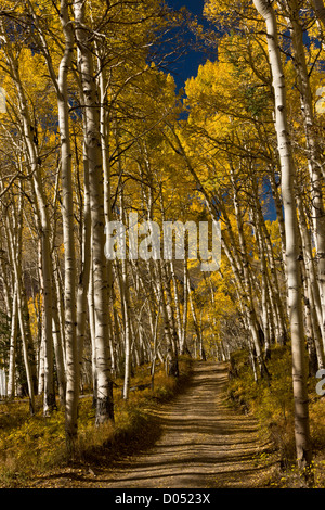 Mountain road through Aspens with autumn (fall) colours in the San Juan Mountains, above the Dolores Valley; Colorado - Stock Photo