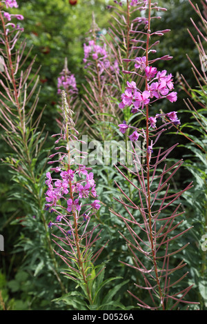 pink willow herbs seen growing in late summer in east Yorkshire next to the canal - Stock Photo