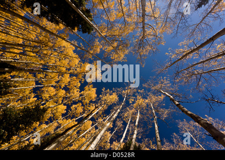 Looking up into a group of Quaking Aspens, Populus tremuloides, with autumn colour, in the San Juan mountains, Colorado, - Stock Photo